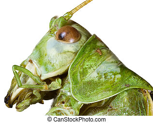 Locust Head Cutout - Extreme Macro Shoot of Green Bush...
