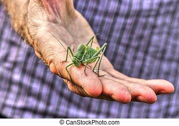 Locust - Huge locust in hand of natural scientist.