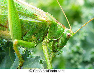 Insect photo - macro detail of a green locust