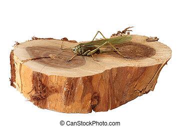 Locust - Isolated locust sitting on a piece of wood.