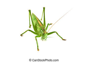 locust isolated on a white background