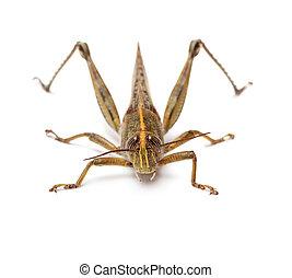 Locust isolated on white background