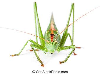 Locust isolated on white background.