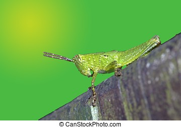 Locust nymphae - a hopper stay on wood at night