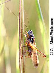 Locust on a grass