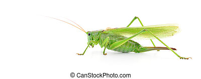 Locust - Green locust isolated on a white background