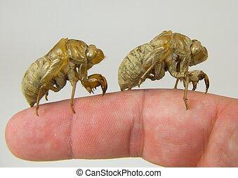 Locust Shells on a Finger