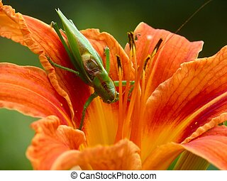 Locust sitting on a lily. Colour. Summer.