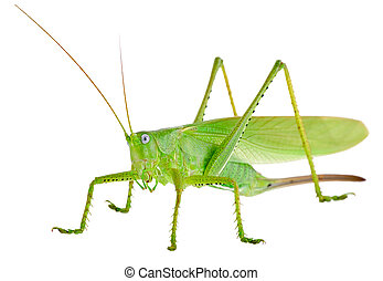 Locust is photographed on the white background