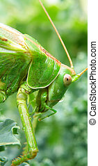 Locust - Insect photo - macro detail of a green locust