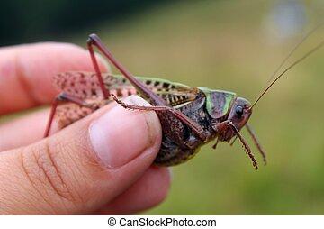 Locust - The green large locust in my hand