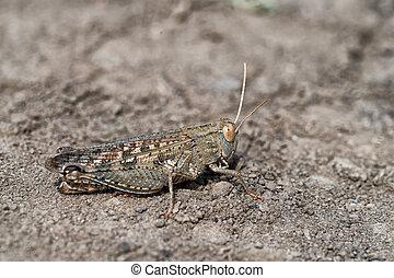 Locust - Wild mature grasshopper is sitting on the ground