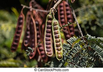 locuste, graine, boîtiers, détail