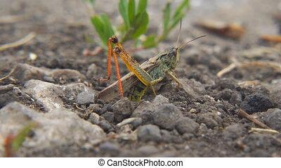 Locusts lay their eggs in ground. Macro, close-up. Locust...
