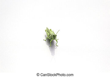 Locusts on a white background