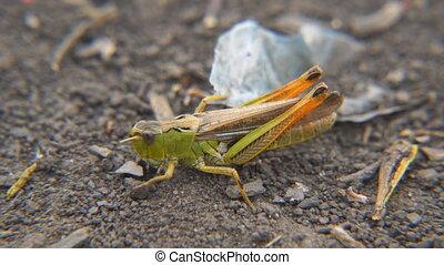 Locusts on ground. Macro, close-up. Locust invasion -...