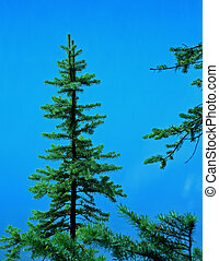 Lodge Pole Pine - A small lodge-pole pine tree on the shore ...