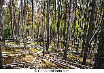 lodgepole, bosque