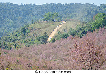 loei, kersenboom, lomlo, himalayan, wild, thailand, phu