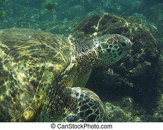 Loggerhead Sea Turtle Underwater