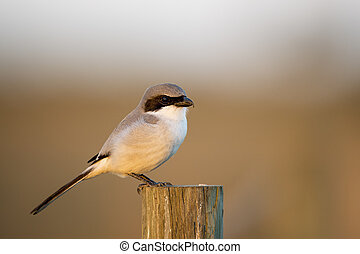 Loggerhead Shrike Perched on a Post