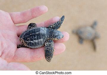 Hatchling Loggerhead a baby on palm, sri lanla island