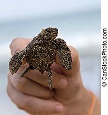 Loggerhead Turtle baby(Caretta carretta) in hand
