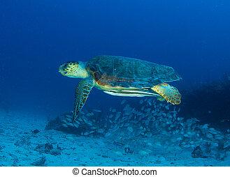 Loggerhead Turtle-Caretta caretta swimming over a reef in...