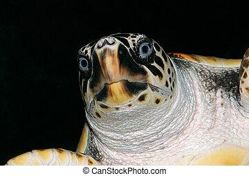 Portrait of a loggerhead turtle