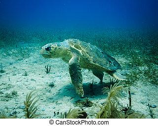 njured Loggerhead turtle swimming above coral reef in Caribbean