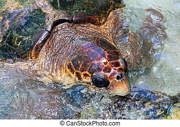 Loggerhead Turtle - The loggerhead sea turtle (Caretta ...