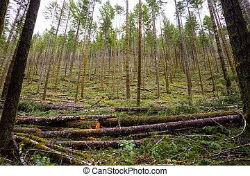 Logging Timber Industry Tree Thinning - Tree thinning in a...