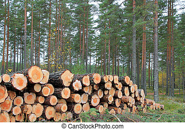 Logs in Pine Forest in Autumn - Stack of pine logs in pine...