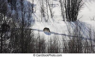loin, neigeux, marche, paysage, loups