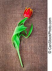 lona, flor, Lino, primavera, aislado, tulipán, Plano de fondo