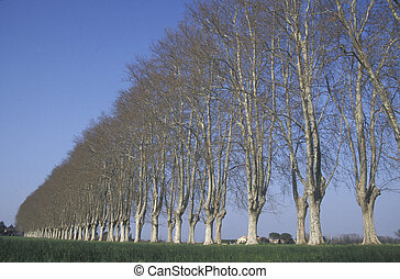 London plane, Platanus hispanica muenc , trees in a row