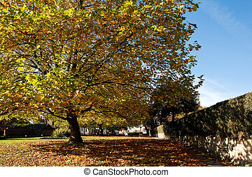 London Plane tree canopy in East Grinstead