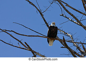 Lone American Bald Eagle - A lone bald eagle watches over ...