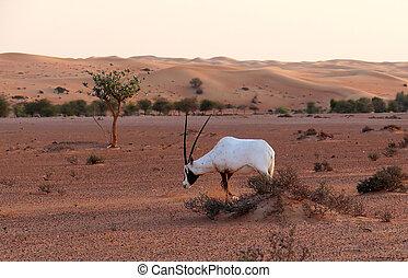 lone antelope in the desert at sunset.
