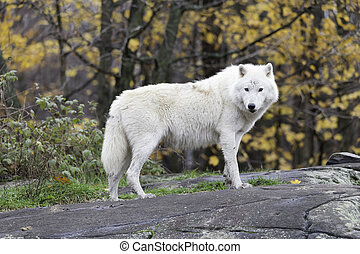 Lone Arctic Wolf