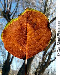 Lone Aspen Leaf