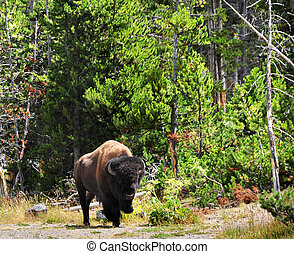 Lone Bison - Bison moves slowly along the edge of the forest...