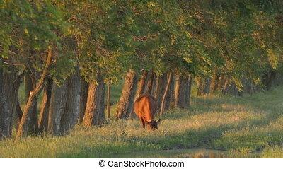 Lone brown calf nipping green grass