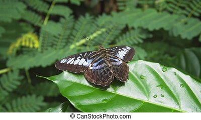 Lone Clipper Butterfly on a Leaf. hidef 1080p video -...