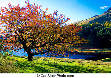 A colorful tree in autumn colors in dovestone reservoir in the peak district, England. (80)
