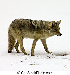 A lone coyote digs for food through the thawing spring snow in Yellowstone National Park.