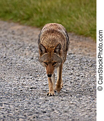 Lone coyote looking at and walking towards viewer - One ...