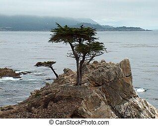 Lone Cypress Tree, near Carmel, California