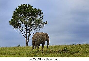Lone Elephant and Tree - Lone Elephant in Knysna Elephant...