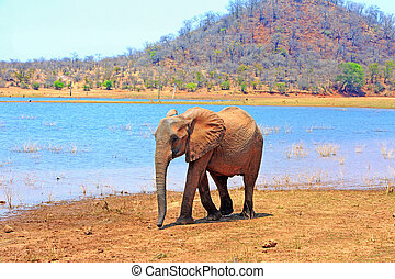 Lone Elephant standing on the lush shoreline with Lake Kariba and hills in the distance